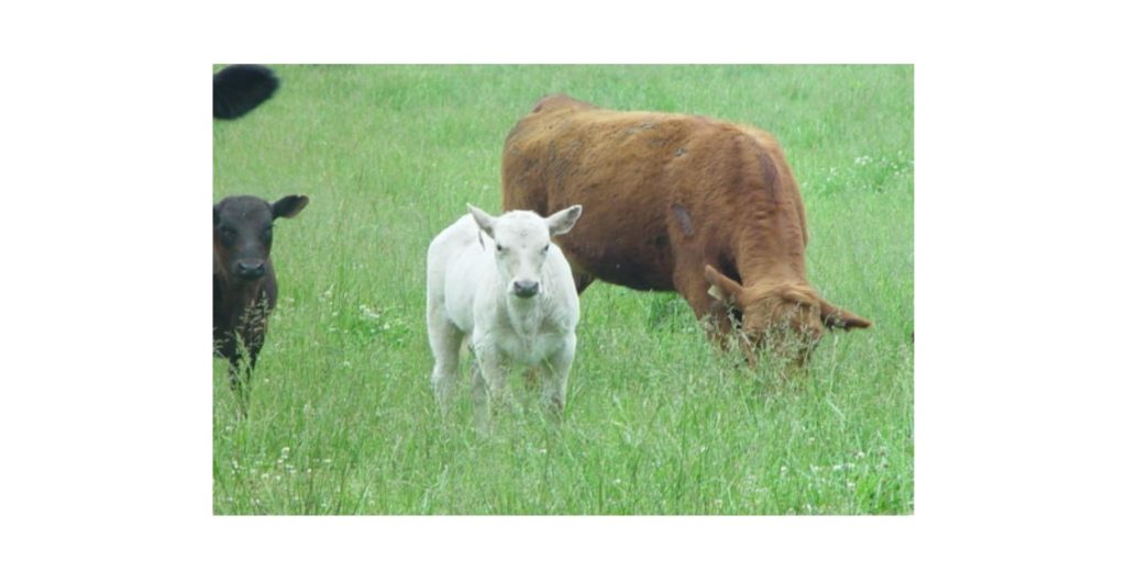 Two Calves stand near a grazing mother